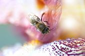Closeup Flower With Bee. Honey Bee On A Flower Closeup. Closeup Iris Flower With Bee. Meadow In May  poster