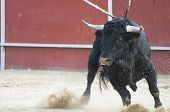 Fighting Bull-Bild aus Spanien. Black bull