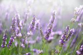 Provence Nature Background. Lavender Field In Sunlight With Copy Space. Macro Of Blooming Violet Lav poster