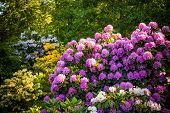 Rhododendron Plants In Bloom With Flowers Of Different Colors.rhododendron Plants In Bloom poster