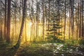 Bright Sunrise And Sunshine In Picturesque Spring Forest In Morning. Sun Rays Through Trees Of Fores poster