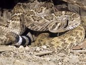 picture of western diamondback rattlesnake  - Western diamondback rattlesnake tongue testing the air rattle rattling poised to strike - JPG
