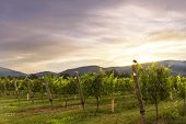 Central Virginia Winery At Dusk Mid-summer With Grapes On The Vine poster