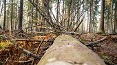 Felling Natural Forest Of Spruce And Deciduous Forest. Firewood In The Forest. Abandoned Wood Rots. poster