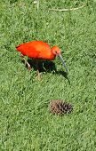 foto of scarlet ibis  - One Scarlet Ibis Walking in Green Grass - JPG