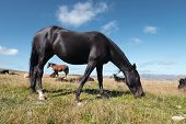A Wildly Grazing Black Horse On An Alpine Pasture Of The North Caucasus. Farm Mining Concept poster