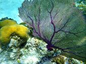 picture of chan  - Corals seen at Hol chan marine reserve in Belize - JPG