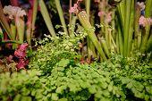 Sarracenia leucophylla, also known as the crimson pitcherplant,  purple trumpet-leaf or white pitche poster