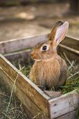 Big Rabbit Is Standing In The Wooden Box With Hay. poster