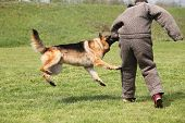 stock photo of infraction law  - Attack dog training session on green grass - JPG