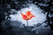 Red Tulip Soul In Cold Blue For Peace Heal Hope. The Flower Is Symbol For Power Of Life And Mind Str poster