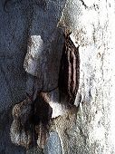 Damaged Surface Of A Plane Tree Trunk. Ulceration On The Cortex Caused By Disease, Virus, Or Rotting poster
