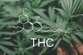 Thc Formula. Indoor Method Of Growing Cannabis.bloom Of Cannabis. Indoor Grow Cannabis Cultivation.  poster