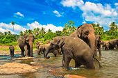 stock photo of indian elephant  - Elephant group in the river - JPG