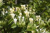 pic of honeysuckle  - White and yellow honeysuckle in bloom in the spring - JPG