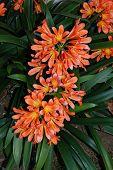 pic of rhizomes  - Clivia Miniata  - JPG