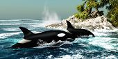 stock photo of inlet  - Two Killer whales swim into an ocean inlet looking for fish or seal prey - JPG