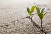 picture of survival  - weed growing through crack in concrete pavement - JPG