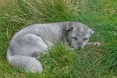 picture of arctic fox  - An Arctic Fox Resting on  Green Grass - JPG