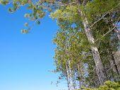 Pine Trees Blue Sky poster