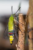 stock photo of hawk moth  - Close up of pellucid hawk moth or greenish hyaline hawk moth  - JPG
