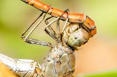 pic of animals sex reproduction  - Extreme Details Of Dragonflies Reproductive System Macro - JPG