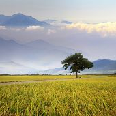 stock photo of hmong  - Paddy Rice Field for adv or others purpose use - JPG