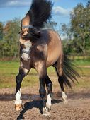 stock photo of buckskin  - buckskin welsh pony in motion - JPG