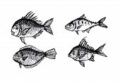 image of loach  - an images of  hand drawn fish Vector illustration - JPG