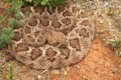 image of western diamondback rattlesnake  - A Coiled Western Diamondback Rattlesnake Lays Waiting in the Grass - JPG