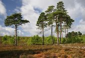 stock photo of pinus  - Dry Heathland with Scots Pines Trees  - JPG