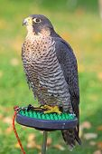image of goshawk  - The portrait of Northern Goshawk Accipiter gentilis