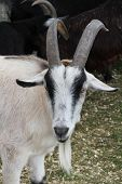 image of billy goat  - A pygmy goat is a breed of miniature domestic goat.