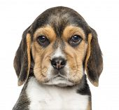 stock photo of puppy beagle  - Close - JPG