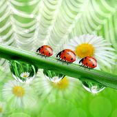 dew drops with ladybugs in the background of the daisies