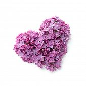 image of lilac bush  - Flowers of a lilac in the form of a heart - JPG