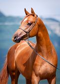 stock photo of colt  - Chestnut young horse portrait - JPG