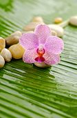 Pink orchid and stones on wet banana leaf