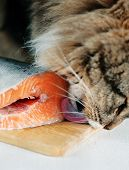 stock photo of tongue licking  - Fluffy Cat licking piece of red fish  - JPG