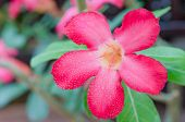 picture of desert-rose  - close up of flower Impala Lily Adenium  - JPG