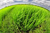 fisheye photo of Green rice field
