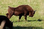 wild bison on the field