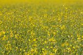 stock photo of rape-field  - rape oil seed field - yellow flowers