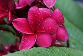 Red plumeria after the rain