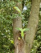 stock photo of ringneck  - rose ringed parakeets on tree nest Psittacula krameri - JPG