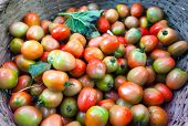 Organic tomatoes from local market of vegetables. Colorful natural background