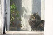 pic of geranium  - fluffy cat illuminated by the sun sitting at the window next to the geranium plant in a pot and looking window - JPG