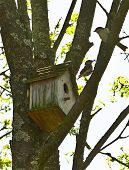 foto of flytrap  - flycatchers parents near their birdhouse on tree