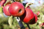stock photo of orchard  - Apples on the tree in the orchard in the fall before harvest - JPG