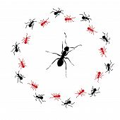 stock photo of ant  - Circle Of Small Worker Ants Surrounding One Large Ant - JPG